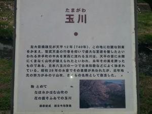 京都の桜の名所スポット玉川