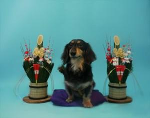 伏見稲荷大社で初詣をイメージした犬