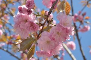 京都の桜で花見ができる穴場スポット
