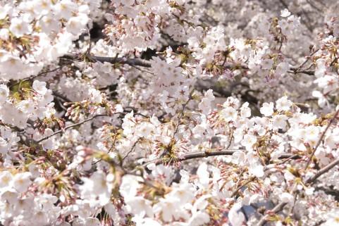 醍醐寺の花見で有名なしだれ桜