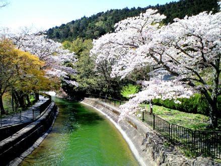 山科疏水の桜