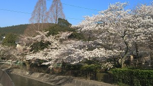 カップルのお花見デートに欠かせない山科疏水の桜