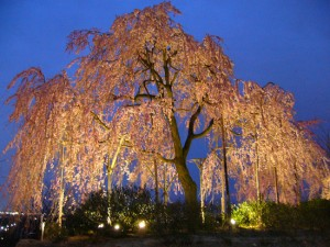 桜でお花見を楽しむ方に必見の宇治植物公園のライトアップされたしだれ桜