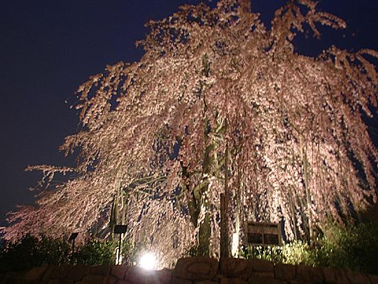 宇治の桜の開花予想とともに見られる綺麗な宇治のしだれ桜