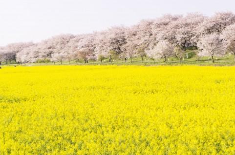 奈良県吉野山の吉野の千本桜