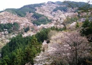 吉野の千本桜で有名な吉水神社からの桜