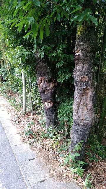 クワガタ採集にぴったりの木