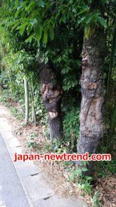 クワガタ採集におすすめの木