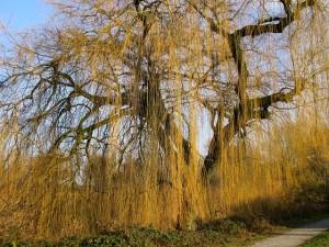 初心者がクワガタを捕まえるのに探すヤナギの木