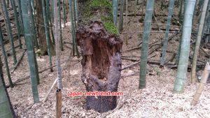 クワガタ採集にピッタリな木