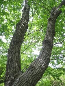 クワガタを捕まえるときに探すコナラの木