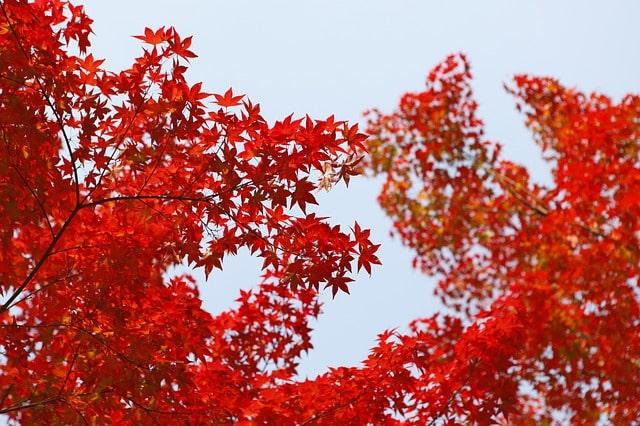 毘沙門堂の綺麗な紅葉