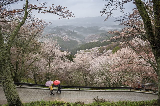 奈良吉野の千本桜