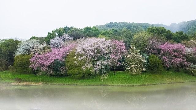 醍醐寺の池の桜