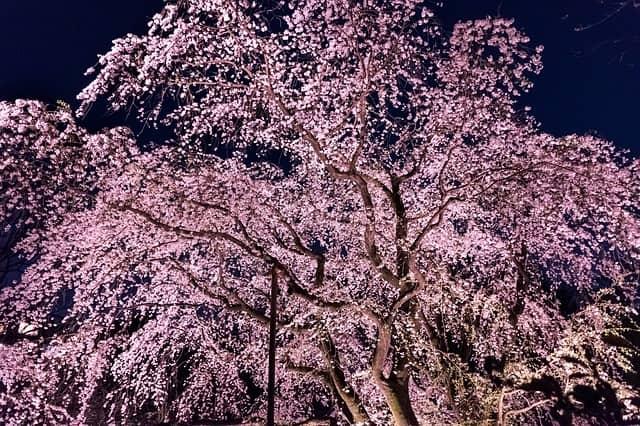 京都でライトアップされた綺麗な夜桜