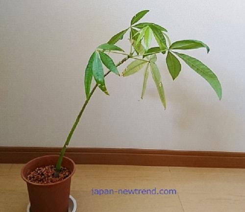 鉢植えに植えたパキラ