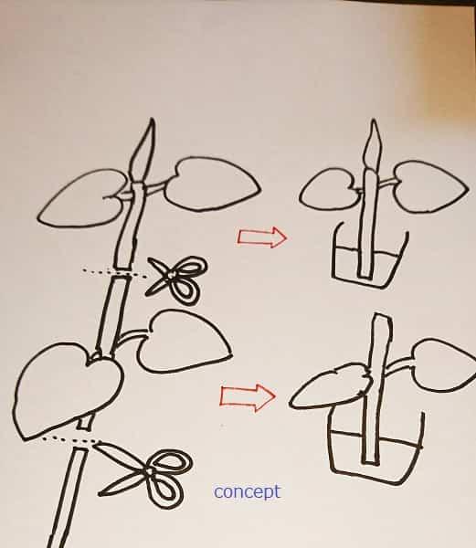 フィカスウンベラータの剪定方法を示した図