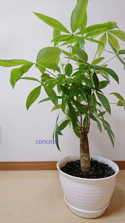 ミニ観葉植物のパキラ