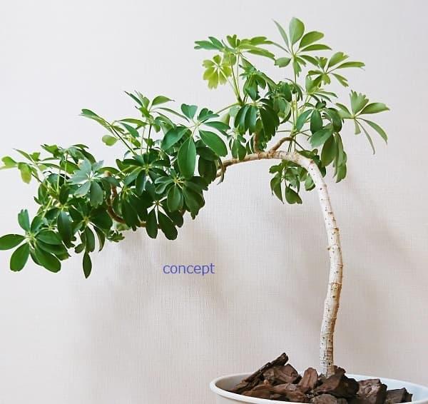 育てやすい観葉植物のシェフレラ